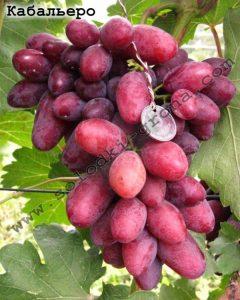 виноград Кабальєро