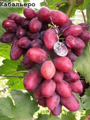 виноград Кабальєро / Caballero