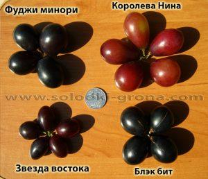 виноград Блек біт, Фуджи мінорі, Королева Ніна