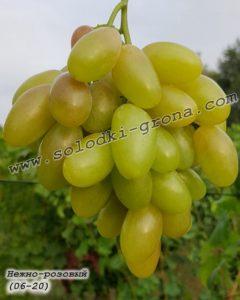 виноград Ніжно-рожевий