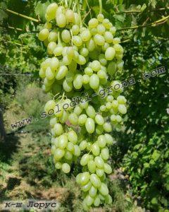 виноград Лорус
