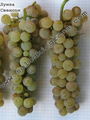 виноград Луіза Свенсон