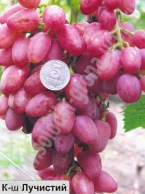 виноград Лучистий