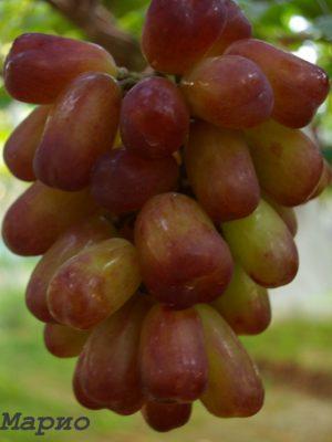 виноград Маріо