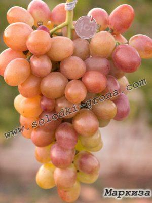 виноград Маркіза / Marquise