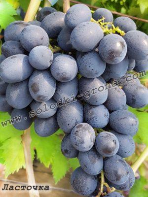 виноград Ластівка