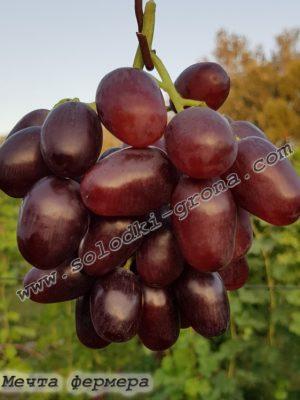 виноград Мрія фермера