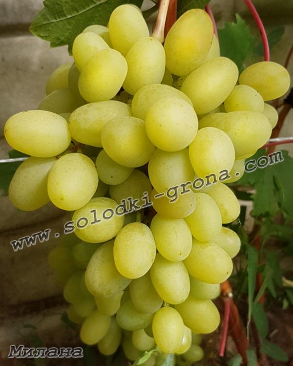 виноград Мілана