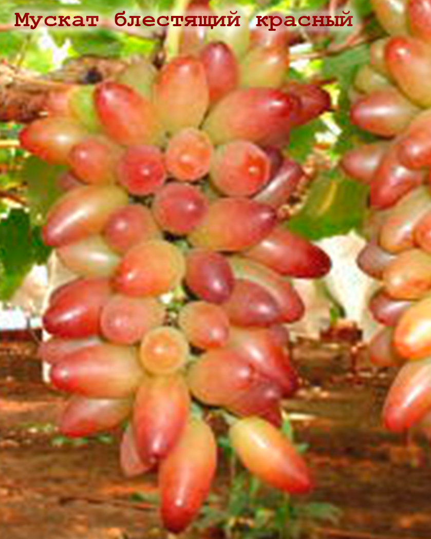 виноград Мускат блискучий червоний