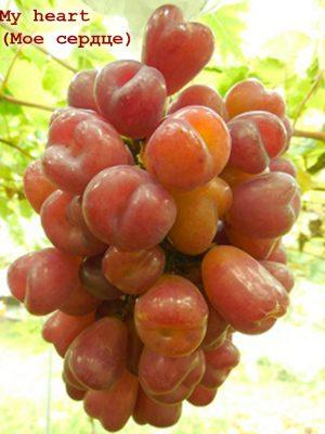 виноград Май хат (Моє серце)