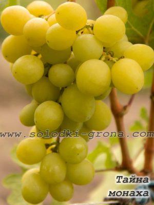 виноград Тайна монаха