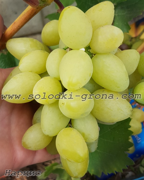 виноград Нарцис