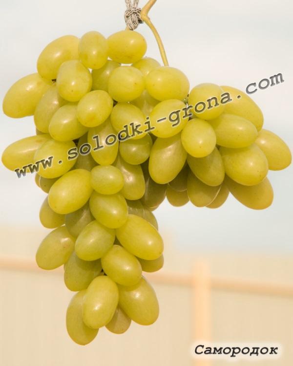 виноград Самородок
