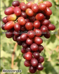 виноград Щелкунчик