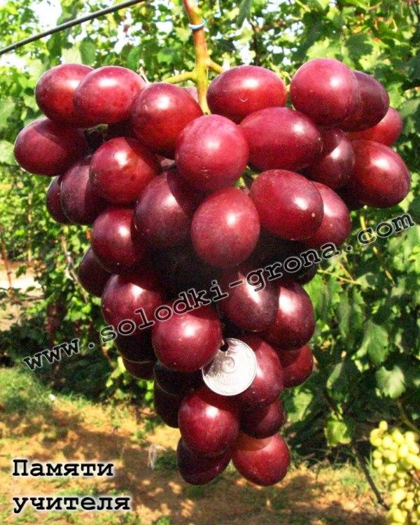 виноград Пам'яті вчителя