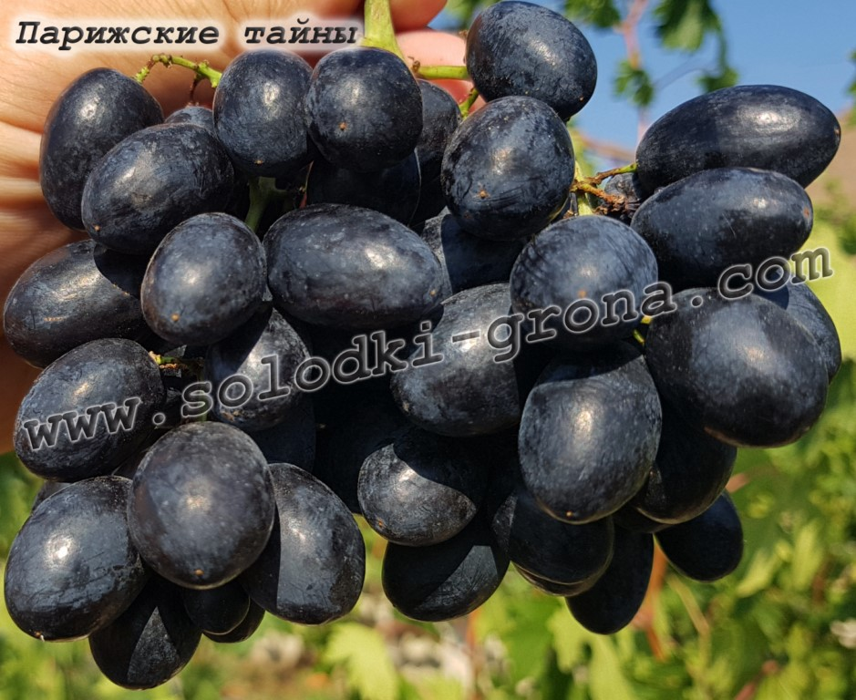 виноград Паризькі таємниці