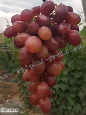 виноград Паскаль / Pascal