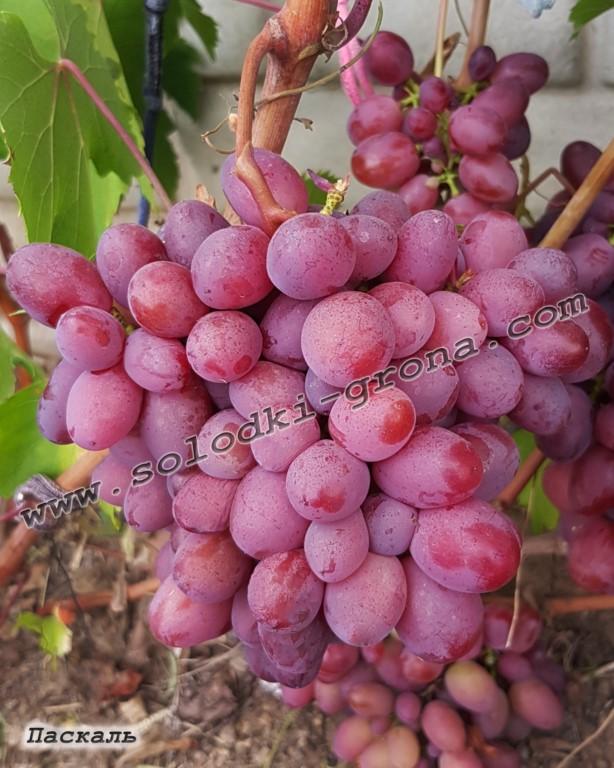 виноград Паскаль