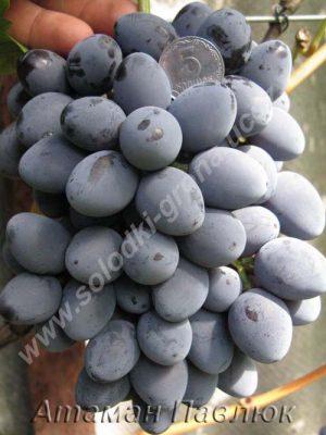 виноград Атаман Павлюк / Ataman Pavlyuk