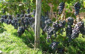 виноград Атаман Павлюк