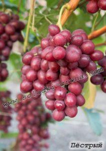 виноград Пьострий