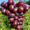 виноград Фаетон