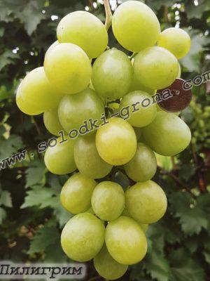 виноград Пілігрім / Pilgrim