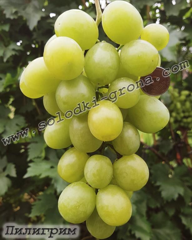 виноград Пілігрім
