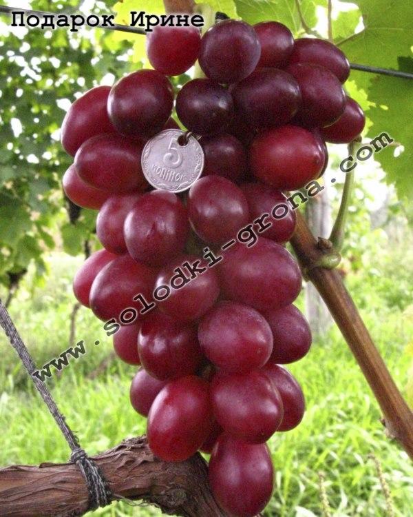 виноград Подарунок Ірині