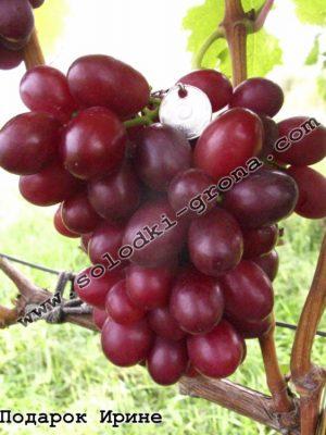 виноград Подарунок Ірині / Gift to Irina