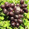 виноград Подарунок Несветая