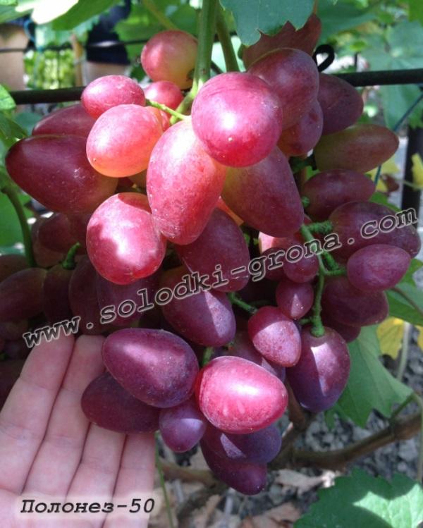 виноград Полонез-50