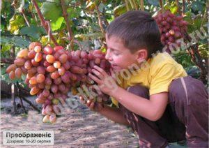 виноград Преображеніє