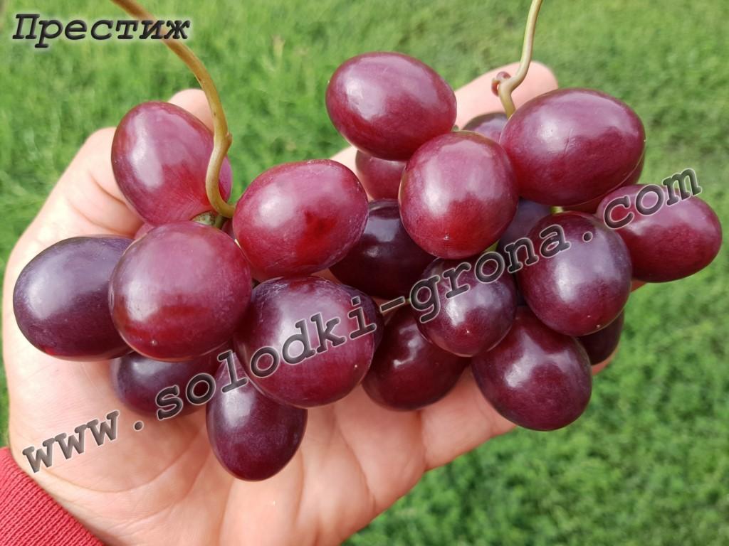 виноград Престиж
