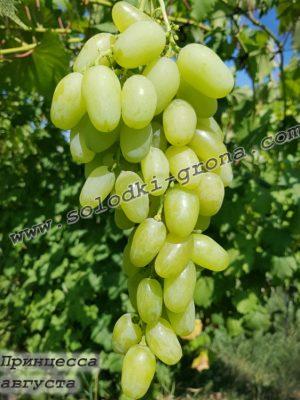 виноград Принцеса августа