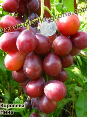 виноград Королева Ніна