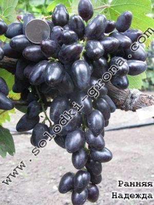 виноград Рання Надія
