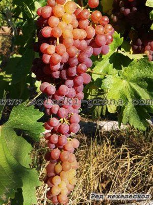 виноград Ред нехелескол