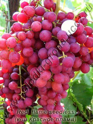 виноград Ред флейм