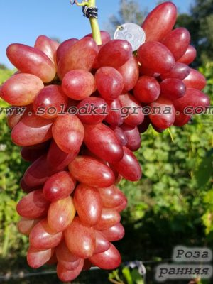 виноград Роза рання