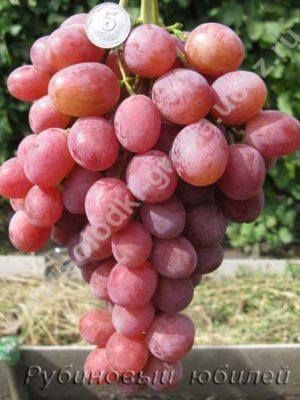 виноград Рубіновий ювілей
