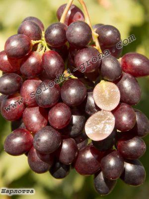 виноград Шарлотта