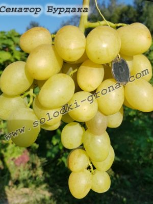 виноград Сенатор (Бурдака)