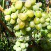 виноград Шейн мускат