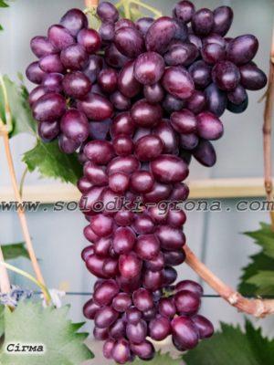 виноград Сігма / Sigma