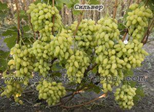 виноград Сільвер