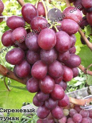 виноград Сірєнєвий туман