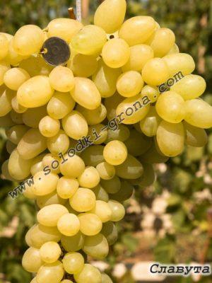 виноград Славута