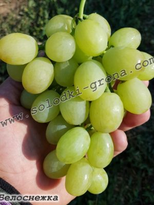 виноград Білосніжка