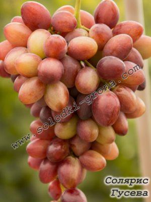 виноград Соляріс (Гусева)